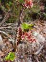 Northern red currant