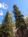 Spruce trees stretching into blue sky