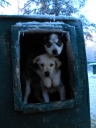 puppies looking out of dog kennel