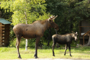 moose parent and child