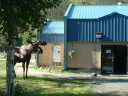 moose visiting hot springs